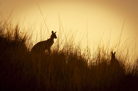 Australian Kangaroo's silhoutted at sunset in the wild