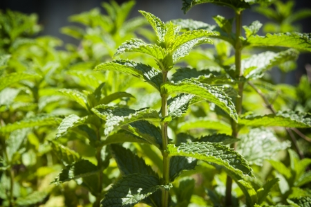 Fresh mint growing in a herb garden