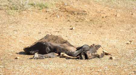 Photo for Dead cow decaying in the drought conditions in Botswana, Africa - Royalty Free Image