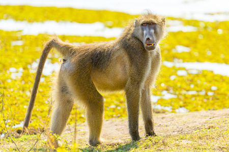 Cape Baboon or Chacma Baboon in Botswana's Chobe National Park in Africa