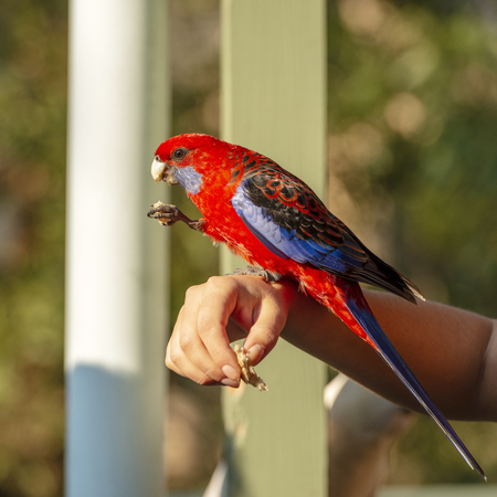 Photo pour Feeding birds by hand with a Crimson Rosella in afternoon sunlight - image libre de droit
