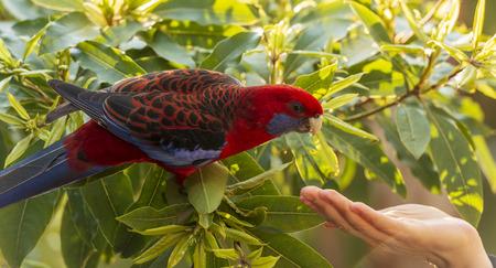 Photo pour Wild Crimson Rosella cautiously approaches a womans hand - image libre de droit