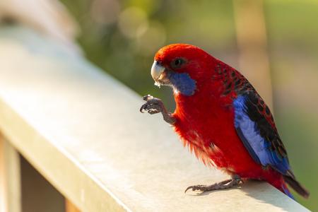 Photo pour Crimson Rosella bird eating in the sunlight in The Grampians, Australia - image libre de droit