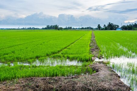 Green color rice field younger.