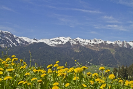 Dandelion meadow in front of the snow-capped mountains of the Alps Sarntal