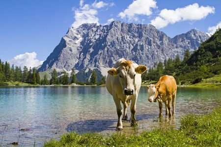 Cow with calf on a meadow at Seebensee lake in Tyrol