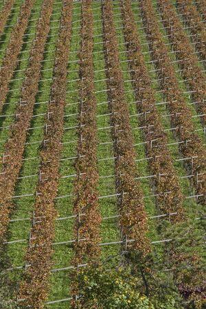 Weinfelder mit herbstlichen Laub von oben gesehen