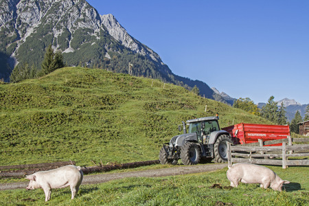 Domestic pigs enjoy the freedoms on an alpine meadow in Tirol