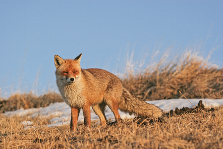 Magnificent red fox on a high altitude in the Sibillini Alps
