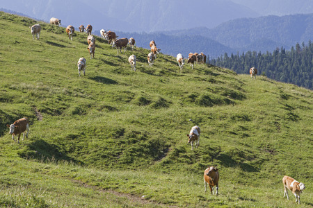 cow herd hikes over the extensive meadows of the Scharnitzalm in the Benedictine area