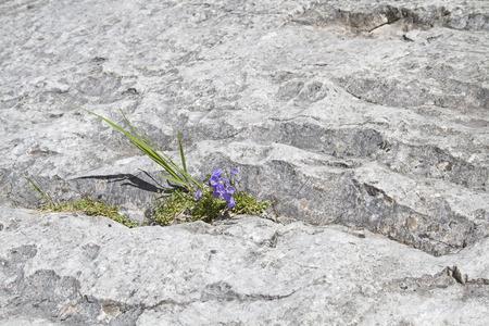 A blue bellflower in the rocky desert is a true survival artist
