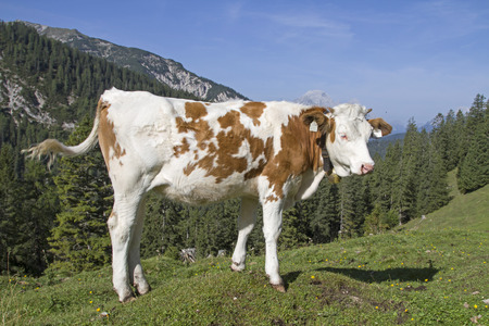 Young cattle on the pasture - calf in a meadow near the Oberbrunnalm in the Karwendel mountains