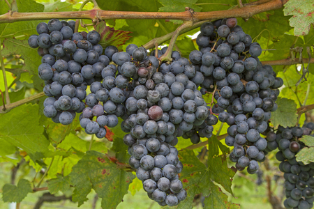 Blue grapes in South Tyrol wait for the harvest