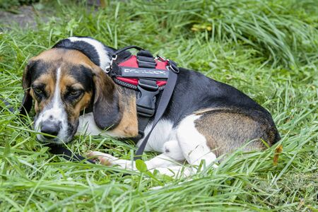 Photo for A Tricolore Beagle has made himself comfortable on a green meadow - Royalty Free Image