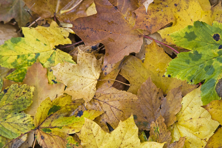 Background picture - many fallen maple leaves lie under the tree
