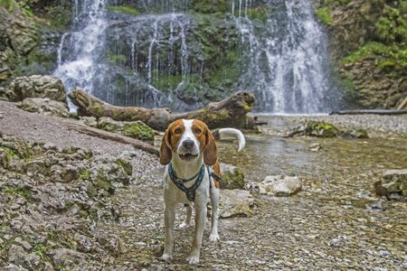 Photo for Beagle on a walk at the Josefstaler waterfall in Upper Bavaria - Royalty Free Image