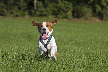 Photo for Beagle running over a green meadow - Royalty Free Image