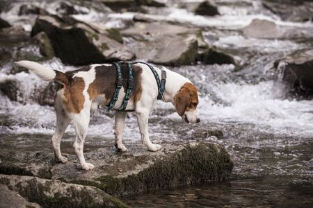 Photo for Tricolor beagle stands on the bank of an Upper Bavarian mountain stream - Royalty Free Image