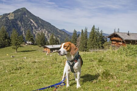 Photo for Beagle on a mountain hike on the Bodenschneid in the Tegernsee Alps - Royalty Free Image