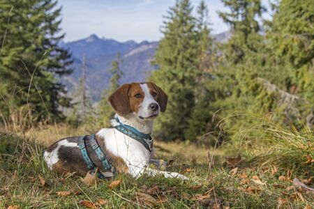 Photo for Beagle on a hike on the Trainsjoch in the Mangfall mountains - in the background the Sonnwendjoch - Royalty Free Image