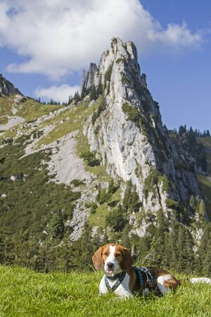 Photo for Beagle on the Riedereck saddle before the summit of Plankenstein - Royalty Free Image