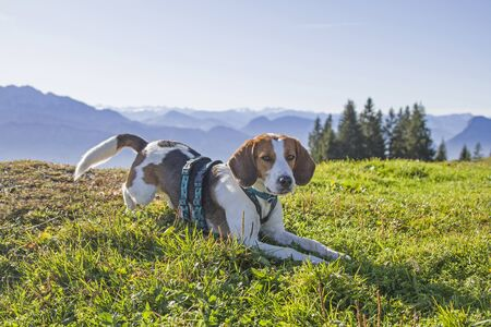 Photo for Beagle at the Kranzhornalm in the Chiemgau Alps - in the background Kitzbühel Alps and Kaiser Mountains - Royalty Free Image