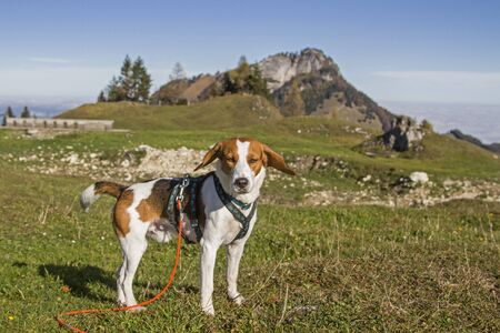 Photo for Beagle at the Kranzhornalm in the Chiemgau Alps - in the background the well-known Heuberg - Royalty Free Image
