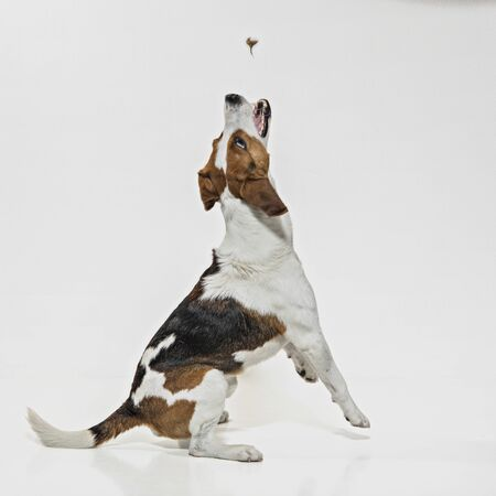 Photo for Dog photography in the studio - beagle post in front of white background - Royalty Free Image