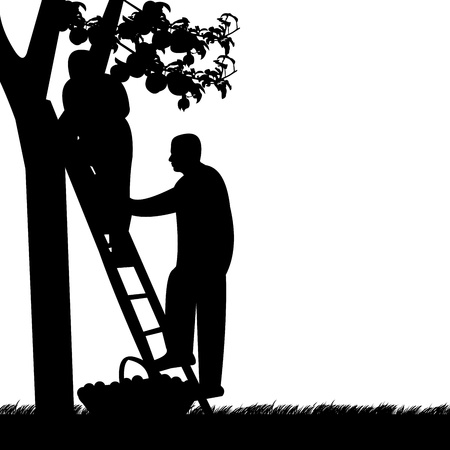 Young men up on a ladder picking apples from an apple tree silhouette
