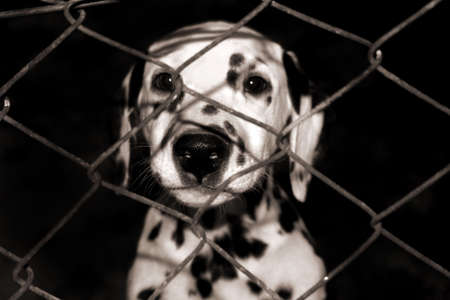 Dalmatian puppy looking through the fence