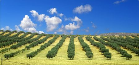 Green rows of olive trees in Spain
