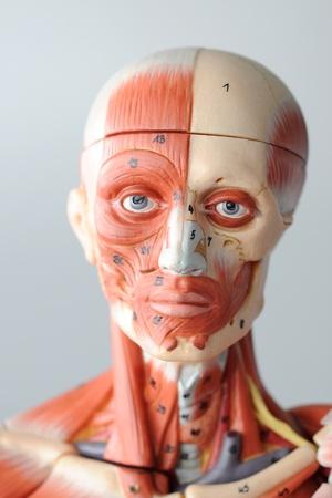 anatomy of head human muscle model