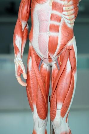 anatomy of human muscle model
