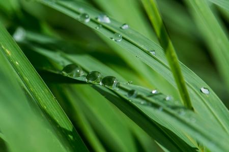 Photo pour dew on leaf green grass - image libre de droit