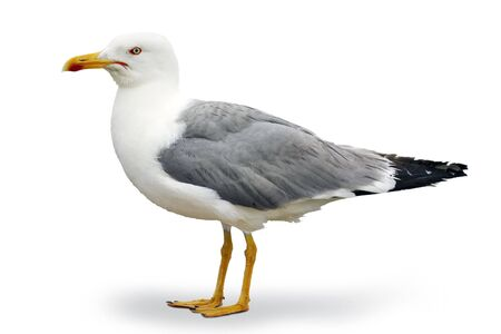 Photo for Gray and white seagull of the Atlantic - Royalty Free Image