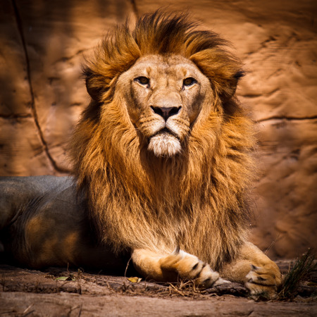 Photo for Picture of a lion looking at the camera. - Royalty Free Image