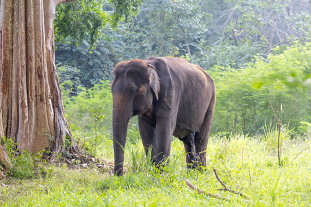 asian elephant in the forest thailand