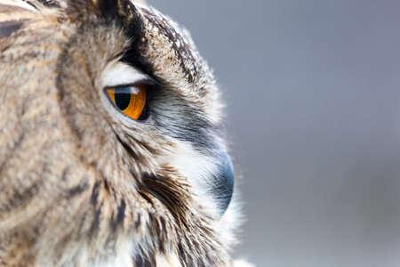 Photo pour beautiful Eurasian eagle-owl (bubo bubo) - image libre de droit