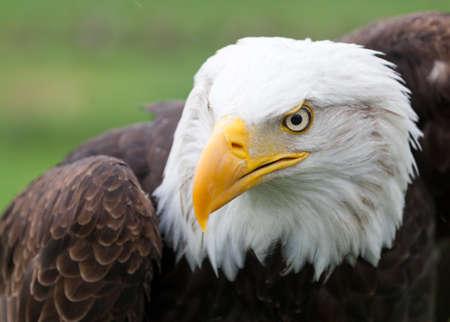 Photo pour Portrait of a beautiful Bald Eagle - image libre de droit