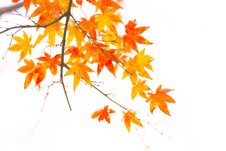 Photo pour Beautiful autumn leaves colored red in autumn in Japan - image libre de droit