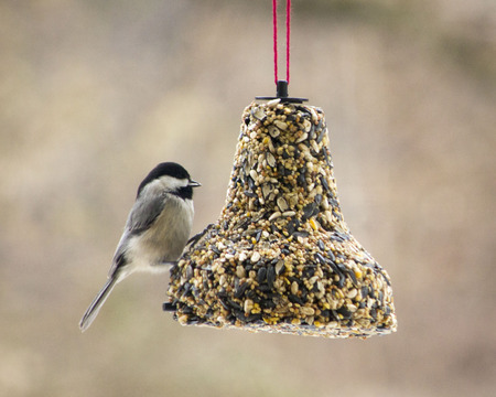 Black Capped Chickadee perched on a bird feeder bell