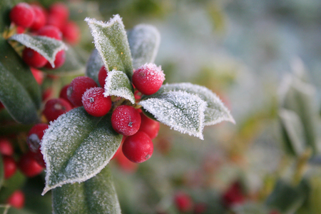 Foto per Frost on Holly branch with ripe red berries. Ilex cornuta bush in winter. Christmas or winter background with selective focus - Immagine Royalty Free