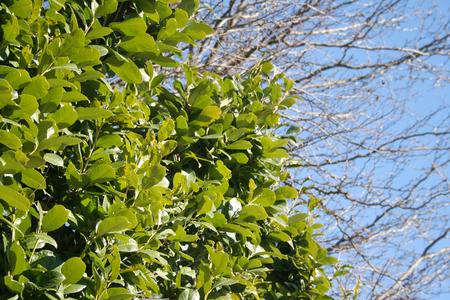 Foto per Laurel bush against blue sky in the garden in winter season. Laurus nobilis - Immagine Royalty Free