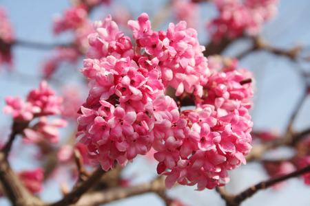Foto per Springtime background. Dawn viburnum with pink flowers. V. bodnantense - Immagine Royalty Free