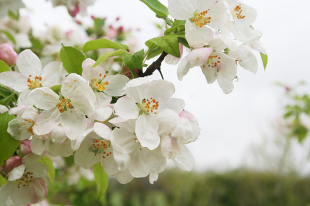 Foto per Pink and white flowers and spring flowers. Malus domestica - Immagine Royalty Free