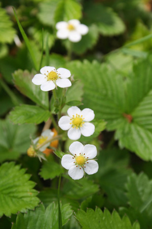 Foto per Wild strawberry plants with white flowers in springtime. Fragaria vesca in bloom - Immagine Royalty Free