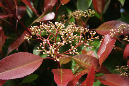 Foto per Photinia Red robin white blossoms on branch in springtime. Photinia x Fraseri bush - Immagine Royalty Free