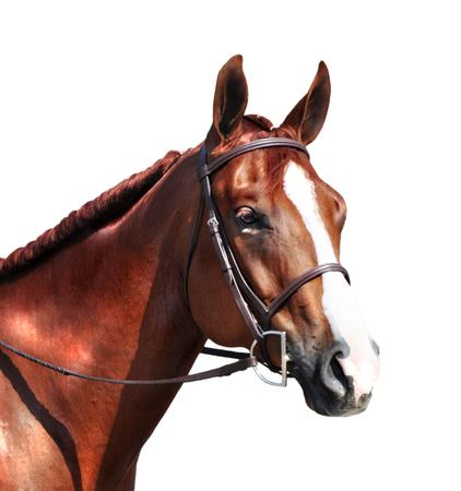 Foto de english horse head - Imagen libre de derechos