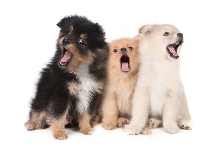 Three Howling Singing Pomeranian Puppies on White Background