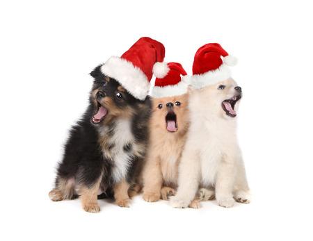 Photo pour Singing Christmas Puppies Wearing Santa Hats on White - image libre de droit